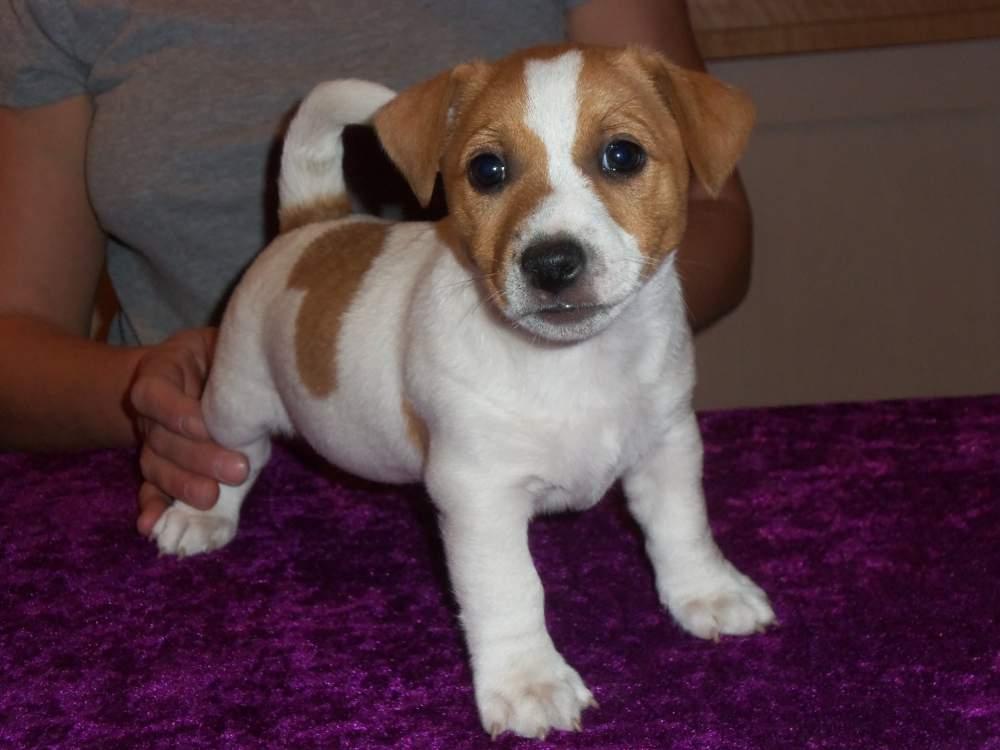 Ogromny Jack Russell Terrier Gładkowłose. kupić w Warszawa OC61