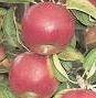 Kupić Jabłka Cortland