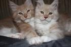 Kupić Kocięta i ich rodzice