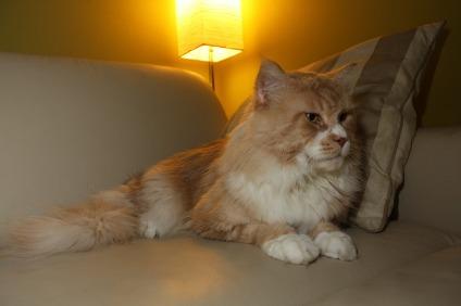 Kupić Koty rasowe Maine Coon*Pl - reproduktor