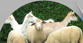 Kupić Barany, owce i jagnięta