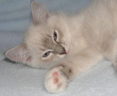 Kupić Koty rasy ragdoll - zawsze chętne do zabawy i pieszczot.