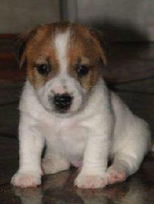 Kupić Psy rasy Jack Russel Terrier - waleczne i przyjaźnie usposobione.