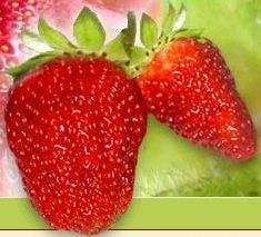 Kupić Najwyższej jakości truskawki deserowe odmiany selva.