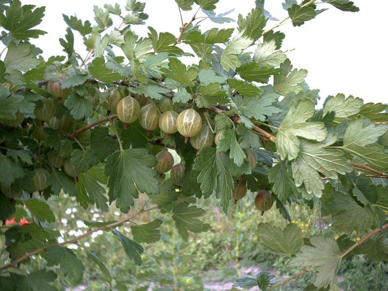 Kupić Kwalifikowane sadzonki agrestu. Odmiany: Niesłuchowski, Biały Triumf, Invicta