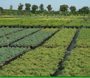 Kupić Szkółka drzew ozdobnych iglastych i liściastych