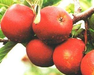 Kupić Jabłka w wielu odmianach. Na zdjęciu jabłka Jonagored.