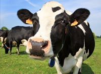 Kupić Mieszanka paszowa Opas dla bydła