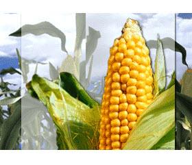 Kupić Nasiona kukurudzy