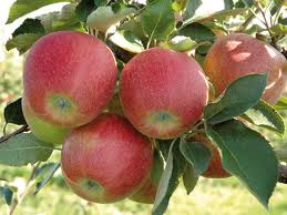 Kupić Smaczne jabłka w odmianie Rubinstar.