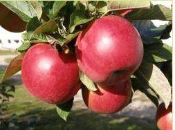 Kupić Sadzonki jabłoni - odmiana Idared