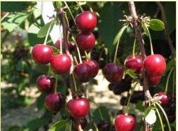 Kupić Sadzonki wiśni - odmiana Łutówka