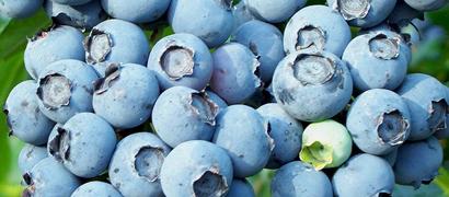 Kupić Owoc borówki amerykańskiej.