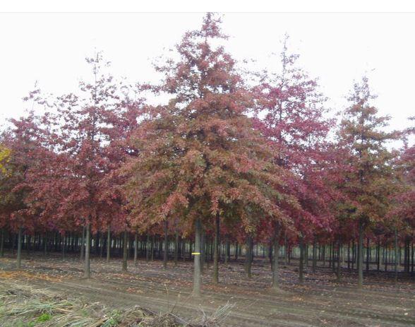 Kupię Sadzonki - Drzewa liściaste ozdobne