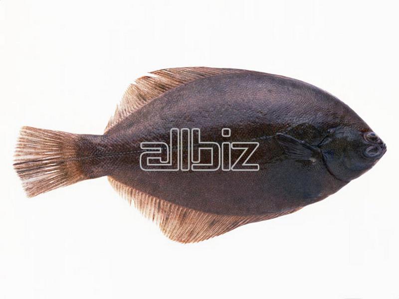 Kupić Flądra (Platichthys flesus)