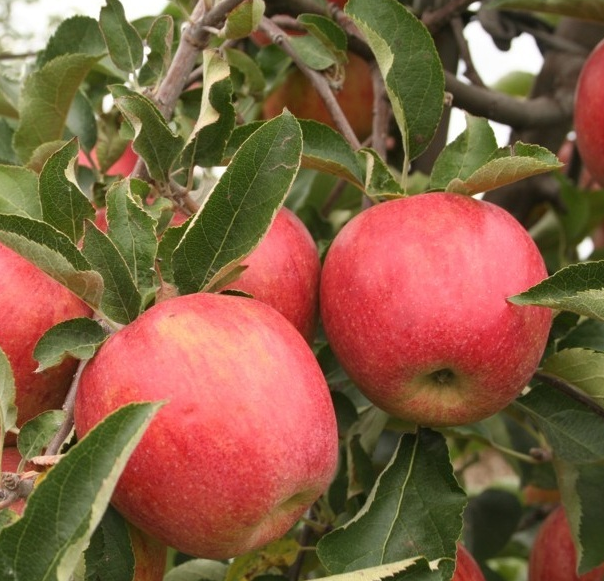 Kupić Jabłka jonagored - smaczne owoce.