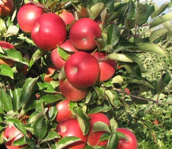 Kupić Jabłka idared o smacznych owocach.