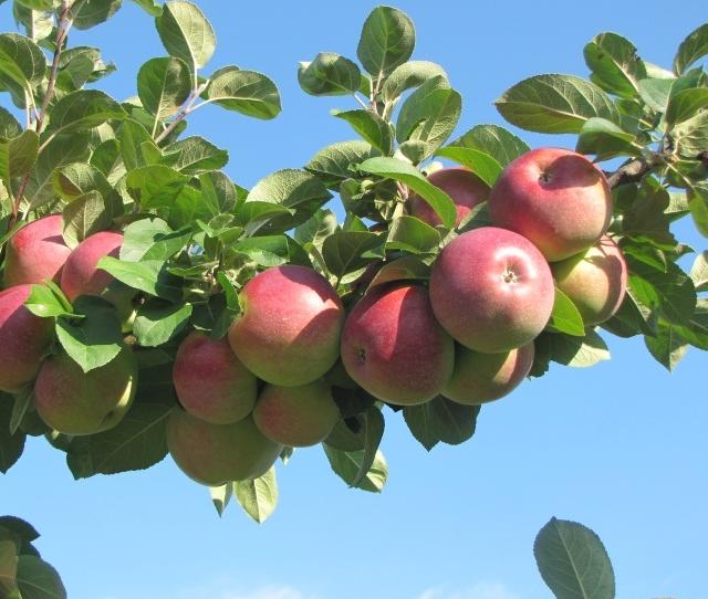 Kupić Jabłka lobo - smaczne i świeże.