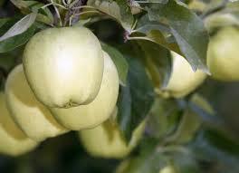Kupić Jabłka Golden Delicious.