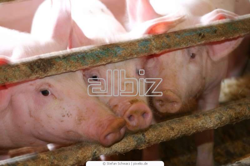 Kupić Pasze dla świń
