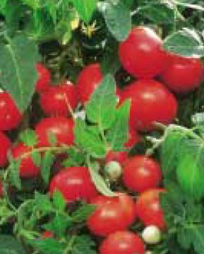 Kupić Pomidor koktajlowy Gartenperle