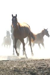 Kupić Konie wyścigowe i sportowe