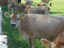 Kupić Hodowla bydła