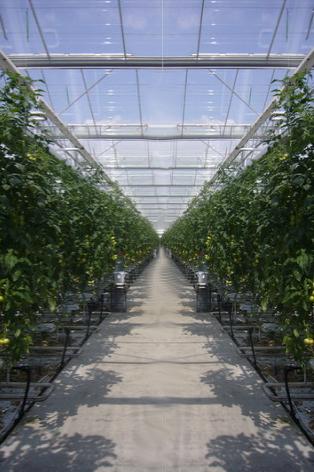 Kupić Uprawa pomidorów szklarniowych