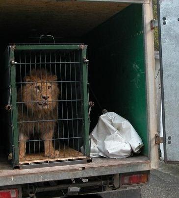 Kupić Lwy, tygrysy