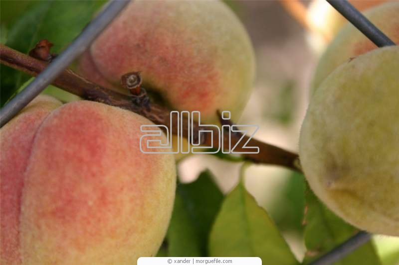 Kupić Sadzonki brzoskwini; drzewka brzoskwini, drzewko brzoskwiniowe