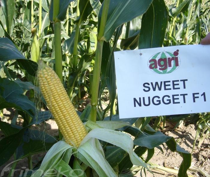 Kupić Kukurydza Sweet Nugget F1