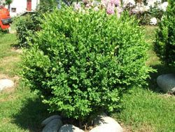 Kupić Bukszpan wieczniezielony - Buxus sempervirens (formowany)