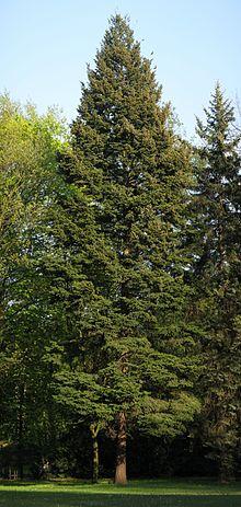 Kupić Daglezja zielona - Pseudotsuga menziesii