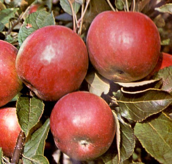 Kupić Sadzonki jabłoni