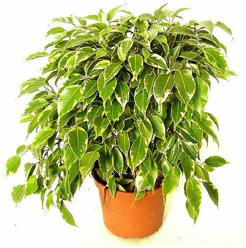 Kupić Rośliny domowe - Fikus