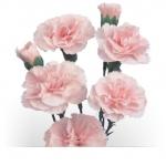 Kupić Kwiaty cięte Goździk