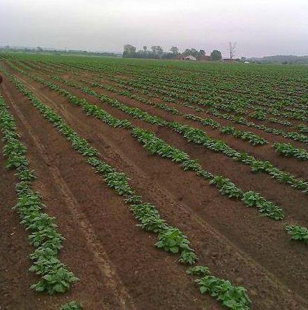 Kupić Warzywa sadzonki - Ziemniaki