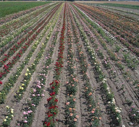 Kupić Róże Staroangielskie
