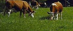 Kupić Łój wołowy