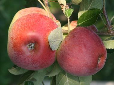 Kupić Jabłka odmiany delikates