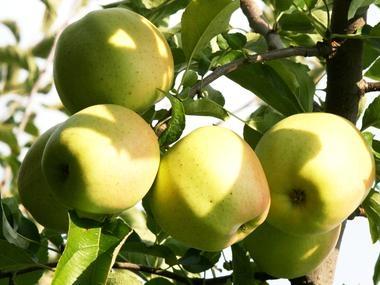 Kupić Jabłka odmiany Golden Delicious