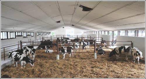 Kupić Bydło wielkie rogate mleczne