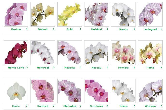 Kupić Orchidea