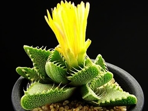 Kupić Nasiona kaktusa