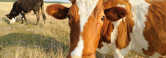 Kupić Mieszanki paszowe, koncentraty, pasza dla bydła