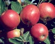 Kupić Jabłka idared.