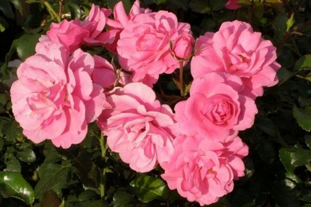 Kupić Róża okrywowa Rosa R 'Mirato'®