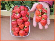 Kupić Sadzonki truskawek