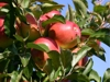 Kupić Jabłka Ligol