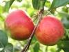 Kupić Jabłka elstar